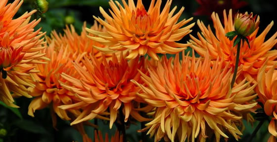 Choosing Dahlias