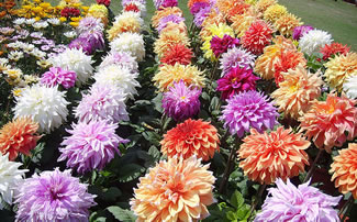 Dahlias Growing